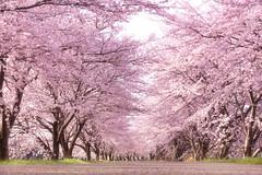 桜並木道 (のの♪) Tags: japan cherry blossom 桜 sakura shiga さくら 滋賀 桜並木