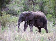 Elephant (little_duckie) Tags: africa southafrica buffalo zebra cheetah giraffe impala hyena rhinoceros krugernationalpark kruger gamedrive kudu bushbuck