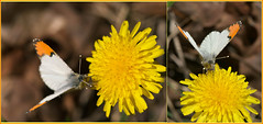 Tiny  Sarah Orange Tip (Karen McQuilkin) Tags: orange mountains macro sarah butterfly insect utah diptych hike dandelion tip elusive sarahorangetip weebfly