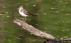 Solitary Sandpiper by Steve Gifford (Steve Gifford - IN) Tags: county bird nature photo wildlife steve picture indiana photograph steven sandpiper society gibson solitary audubon gifford ias haubstadt