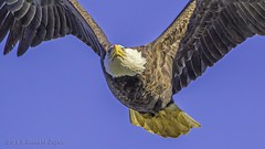 Bald Eagle flyover IMG_6926 (ronzigler) Tags: bird nature canon eagle bald raptor avian birdwatcher conowingo 60d sigma150600
