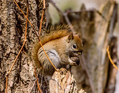 A Squirrel And His Nut (vernonbone) Tags: birds nikon sigma 500mm eastpoint d3200 april2016