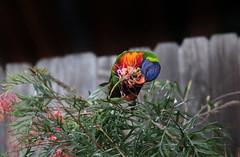 Welcome visitor to my garden (crafty1tutu (Ann)) Tags: flower bird animal garden outdoor depthoffield colourful rainbowlorikeet grevillea inmygarden nativeplant sooc crafty1tutu canon7dmkii canon200mmf4doisusmlserieslens