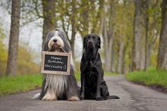 Herzlichen Glckwunsch (laboheme82) Tags: dog dogs labrador hund beardie beardedcollie hunde glckwnsche labbi