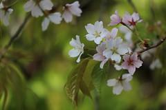 Changing Colours Day  / Kitano - zakura  (a new variety of cherry blossoms) (maco-nonchR) Tags: kyoto traditional  kioto japon  japons kitanotenmangu