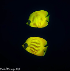 DOUBLE VISION (Niall Deiraniya Underwater Photography) Tags: yellow butterfly marine stripes c pair redsea butterflyfish butterfish
