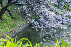 Sakura above the Water  (Sharleen Chao) Tags: reflection water japan canon tokyo day 100mm   sakura cherryblossoms moat        tayasumon kitanomarupark   5dmarkiii