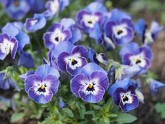 mozirski-gaj_06 (carlo) Tags: flowers olympus slovenia slovenija fiore botanicalgarden omd em1 ortobotanico giardinobotanico mozirje mozirskigaj
