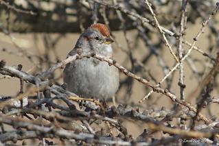 1.29492 Bruant hudsonien / Spizelloides arborea arborea / American Tree Sparrow