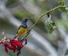 Male Sunbird on a Flower (Geoff Threadgill ( Back in May)) Tags: ngc npc