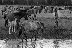 Wild Horses in black-and-white - Bathing - 2016-017_Web (berni.radke) Tags: horse pony bathing herd nordrheinwestfalen colt wildhorses foal fohlen croy herde dlmen feralhorses wildpferdebahn merfelderbruch merfeld przewalskipferd wildpferde dlmenerwildpferd equusferus dlmenerpferd dlmenpony herzogvoncroy wildhorsetrack