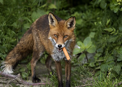 3H8A6562 (shay connolly) Tags: give have fox frankfurter