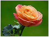"April rose! (macfudge1UK) Tags: uk greatbritain england plant flower nature leaf spring flora nikon europe ngc natur gb coolpix blooms oxfordshire oxon 2016 fantasticflower bbcspringwatch ©allrightsreserved p610 naturethroughthelens ""doublefantasy"" nikoncoolpixp610 coolpixp610"