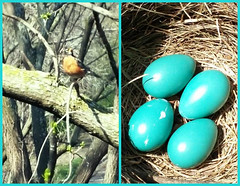OUR ROBIN FRIEND AND HER EGGS (Visual Images1) Tags: blue bird robin collage diptych 6ws eggs