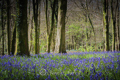 The Wenallt (parry101) Tags: trees tree nature bluebells wales woods south cardiff bluebell wenallt