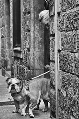 Head 'two' tail (thesilvercitizen) Tags: street dogs outdoors blackwhite bulldogs