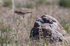Horned lark (ben.roberts999) Tags: usa bird jumping wildlife nv reno hornedlark keystonecanyon evanscanyon