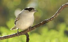 A New Visitor (Ruth S Hart) Tags: male bird bokeh wildlife essexuk roxwell nikon70200mm nikontc20e nikond300 nikondslrusersthebistro eurasianblackcap ruthshart