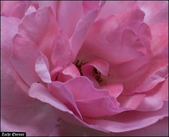 Pink Rose Up Close IZE_15644 (Zachi Evenor) Tags: flowers roses flower rose garden israel gardening april mygarden    2016 rosea            zachievenor