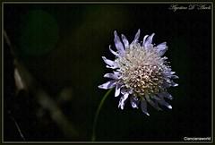 Un comunissimo e semplice fiore di prato - Aprile-2016 (agostinodascoli) Tags: macro texture primavera nature nikon fiori nikkor aprile piante sicilia cianciana