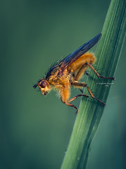 Orange is.... Happy Kingsday!!!! (Ingeborg Ruyken) Tags: morning orange macro green grass insect fly spring flickr groen gras lente dropbox ochtend oranje vlieg 2016 grashalm empel strontvlieg natuurfotografie yellowdungfly 500pxs