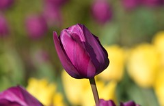 Tulip (careth@2012) Tags: nature petals spring