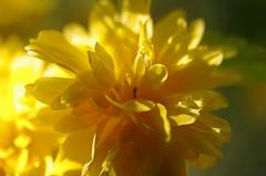 Thse-la-Romaine (Loir-et-Cher) (sybarite48) Tags: france flower fleur yellow jaune flor amarillo amarelo gelb giallo  blume fiore geel bloem iek sar loiretcher  kwiat   kerriajaponica  ty      cortedujapon thselaromaine