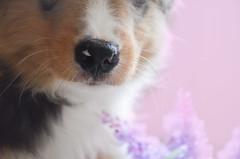 (Randy) (Alice Veresova) Tags: dogs puppy spring mydog miniaussie