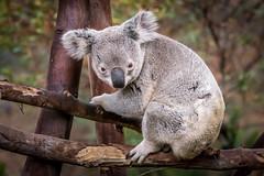 Cute Little Tree Hugger (helenehoffman) Tags: nature animal mammal australia koala eucalyptus marsupial sandiegozoo herbivore arboreal phascolarctoscinereus specanimal