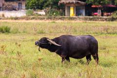 Water buffalo (Bridgetony) Tags: china buffalo asia southeastasia guilin yangshuo karst guanxi asiapacific