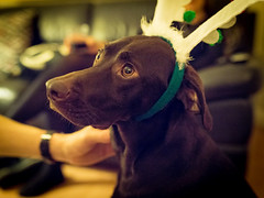 Bobbi (Asquiff) Tags: christmas xmas dog silly up 35mm dark festive dof dress bokeh chocolate antlers fancy vizslador