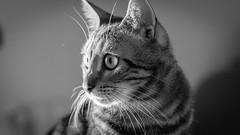 Maya (gRom62) Tags: cats pets animal gatti animali
