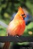 Bird- NOCA (jollyorangephotography) Tags: zoo best portfolio leslies earthweek top300 notwm