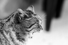 Yawn.. easy like Sunday morning (renkata23) Tags: portrait blackandwhite pet monochrome animal cat nikon kitten close tiger yawn kitty sleepy bulgaria sleepyhead d7000 nikonbulgaria