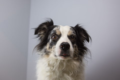 Day 27: Big Bear (gupouk) Tags: portrait dog cute love puppy collie border adorable handsome bordercollie merle