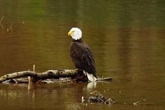 DSC02938 (2) (Allen Woosley) Tags: white lake fish river bath eagle time little bald salmon tle hatchery drano cgnsa