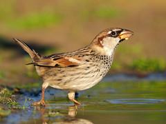 Spanish sparrow ( Passer hispaniolensis ) (diegocon1964) Tags: españa sevilla utrera spanishsparrow passerhispaniolensis gorriónmoruno
