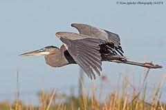 Heron, Great Blue 14-0378-Edit (Hans Spiecker Photography) Tags: texas greatblueheron padreisland