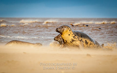 Got my eye on you (emmadavidso) Tags: windy lincolnshire greyseals donnanook
