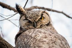 Great Horned Owl (ben.roberts999) Tags: usa bird nv owl reno greathornedowl ranchosanrafael