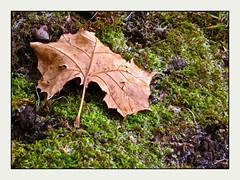 A Sycamore Tree Leaf, on a frosty morning (cayugahull08) Tags: winter moss frost kansas topeka steveclark treeleaf sycamoretreeleaf americanplanetreeleaf