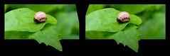 Leptinotarsa Juncta, False Potato Beetle Larva 1 - Parallel 3D (DarkOnus) Tags: macro closeup insect lumix stereogram 3d pennsylvania beetle panasonic stereo potato parallel stereography buckscounty larva false oof oob leptinotarsa ttw juncta dmcfz35 darkonus