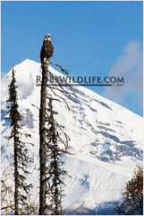 Bald Eagle 092214-1-2-W.jpg (RobsWildlife.com  TheVestGuy.com) Tags: bear travel wild nature alaska canon outdoors photography wildlife fineart professional adventure anchorage getty wilderness anc epic gettyimages wildlifephotographer brownbear animalart wildanimals animalprints 2014 crescentlake redoubt 2015 canoncamera wildlifeart rml wildlifephotography redoubtlodge lakeclarknationalpark redoubtmountainlodge chigmitmountains wildalaska alaskawild alaskaadventure coastalbrownbear wildlifeprints robdaugherty thevestguycom robswildlifecom robswildlife 8016989080 092214 epicwildlifeadventures northernaleutianrange robswildlifecom 2014robswildlifecom