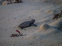 """Barbados Turtle-3 • <a style=""""font-size:0.8em;"""" href=""""http://www.flickr.com/photos/91306238@N04/24520402465/"""" target=""""_blank"""">View on Flickr</a>"""