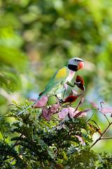 23 Jan 2016 Pasir Ris Park (CheeThong) Tags: birds parrots pasirrispark psittaculaalexandri redbreastedparakeet singapore
