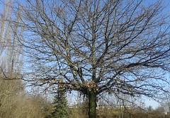 weit verzweigt (martini_bianca) Tags: winter tree ast january himmel ciel cielo albero ste inverno ramo janvier arbre baum rami januar gennaio martinibianca