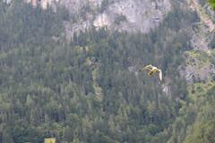 Falcon soaring 2 (quinet) Tags: alps castle austria tirol sterreich schloss chteau tyrol hohenwerfen autriche burg falconry falknerei 2014 tyrolia fauconnerie