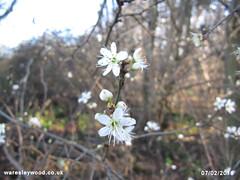 Blackthorn Blossom 07/02/2016 (the_greenman) Tags: bluebells conservation hazel thegreenman wildlifetrust ancientwoodland gransden oxlips waresleywood coppicemanagement wwwwaresleywoodcouk