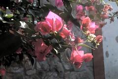 IMG_1707.CR2 (dernst) Tags: trinitarias bougainvilleas