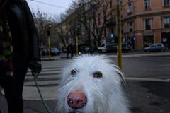 Johnny (BrianGeorgeM) Tags: street city italy dog milan photography italia fuji milano fujifilm x70